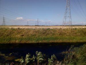 Sheep along the bank of Keadby Warping Drain