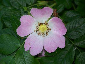 Flora - Dog Rose