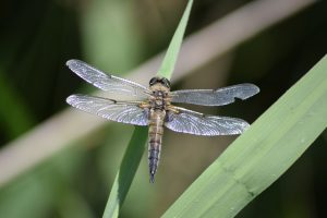 Wildlife - Four Spotted Chaser