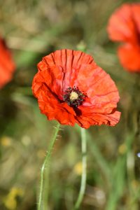 Flora - Poppy