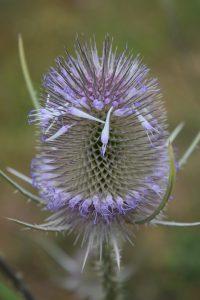 Flora - Teasel